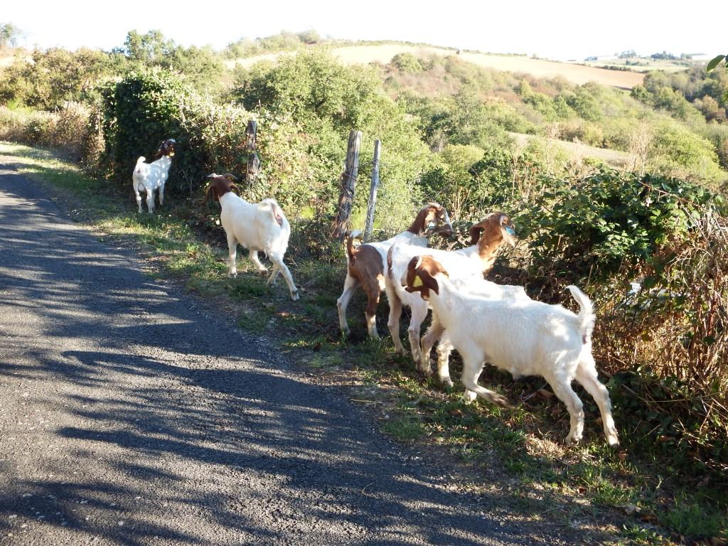 les chèvres d'Angélique en ballade aux Grangettes